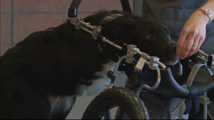 dog gets cart 5vo frame 51 Dog Born With Underdeveloped Legs Gets Around Thanks To Cart