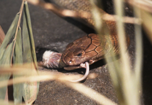 Denver Zoo's Unique Treatment Puts King Cobra With Cancer In Remission