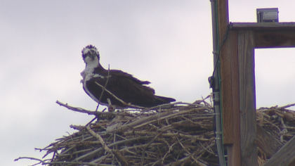 osprey World Watches Osprey Return To Longmont Nest