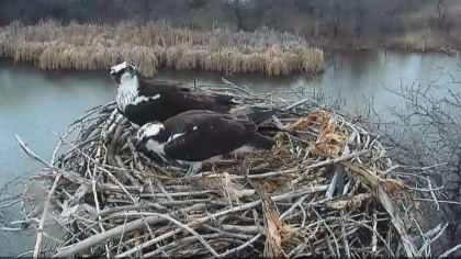 osprey 2 World Watches Osprey Return To Longmont Nest