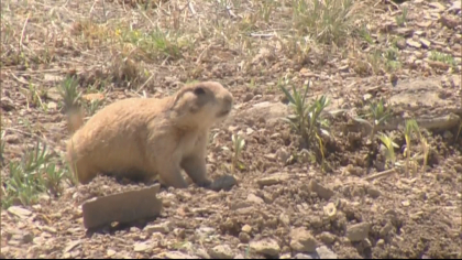 loveland prairie dogs 5pkg frame 270 Developer Finds Compromise That Includes Homes, Prairie Dogs