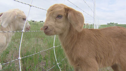 goats Standley Lake Regional Park Turns To Goats For Weed Mitigation