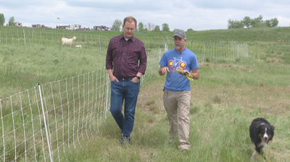goats 2 Standley Lake Regional Park Turns To Goats For Weed Mitigation
