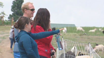 goats 3 Standley Lake Regional Park Turns To Goats For Weed Mitigation