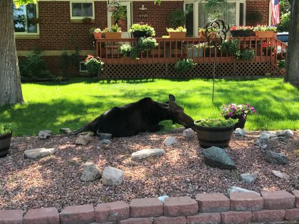 westminster moose 3 cpw twitter Moose Relocated After Showing Up In Metro Area Yard