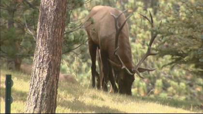declining elk herd 6pkg frame 364 Theyre Just Dying Off: Elk Herds Disappearing In Eagle Valley