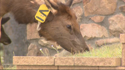declining elk herd 6pkg frame 514 Theyre Just Dying Off: Elk Herds Disappearing In Eagle Valley
