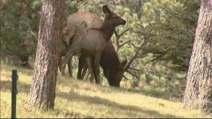 declining elk herd 6pkg frame 1035 Theyre Just Dying Off: Elk Herds Disappearing In Eagle Valley