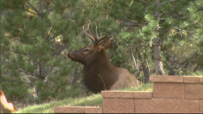 declining elk herd 6pkg frame 976 Theyre Just Dying Off: Elk Herds Disappearing In Eagle Valley